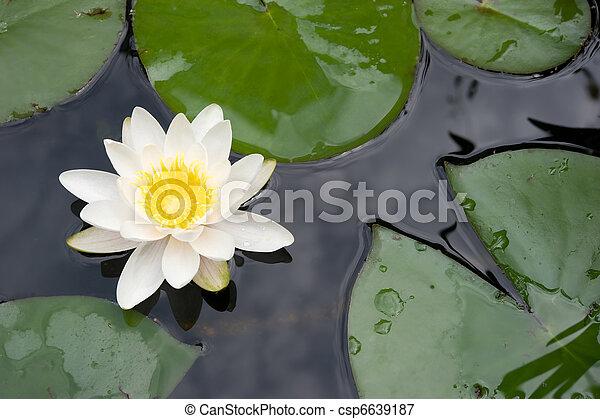 madonna lily - csp6639187