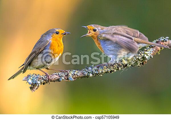 Madre Robin alimentándose joven - csp57105949