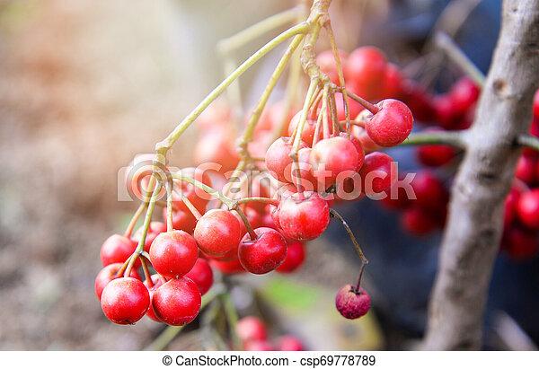 Arándanos silvestres asiáticos, bayas rojas maduras en el árbol, oxicococos de vaccinio - csp69778789