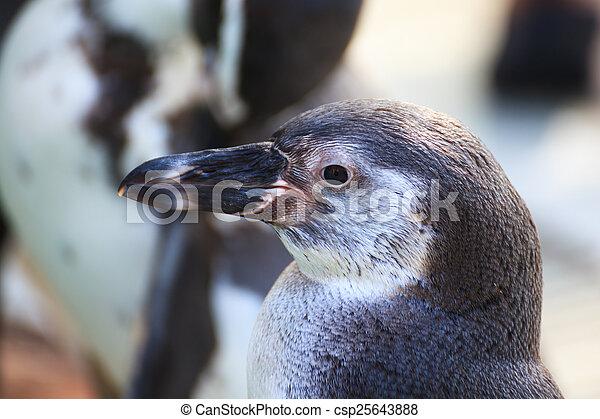 Magellanic penguin close up - csp25643888