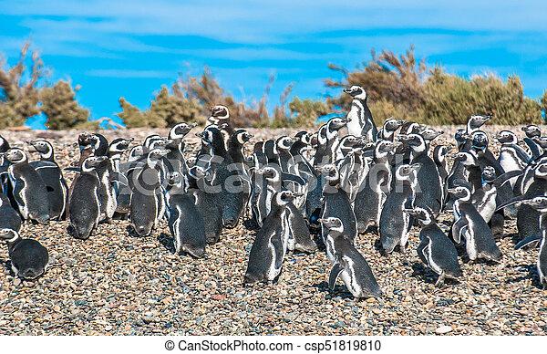 Magellanic penguins in Patagonia, Argentina - csp51819810