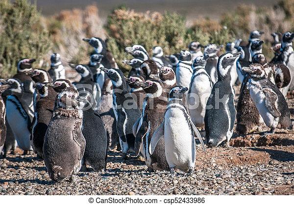Magellanic penguins in Patagonia, Argentina - csp52433986