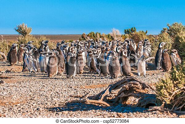 Magellanic penguins in Patagonia, Argentina - csp52773084