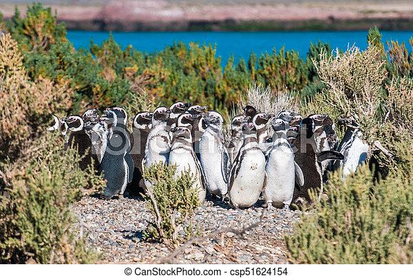 Magellanic penguins in Patagonia, Argentina - csp51624154