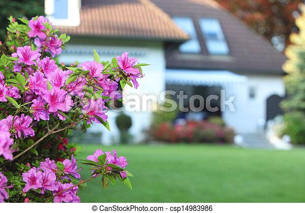 Magenta azaleas in a private garden - csp14983986