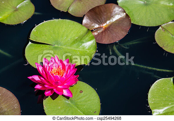 Magenta Lilly in Pond - csp25494268