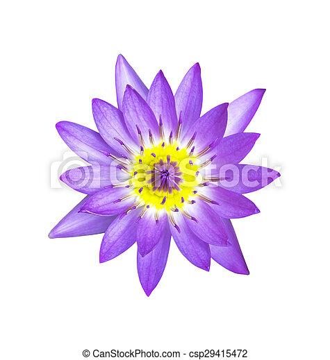 Magenta lotus flower isolated - csp29415472