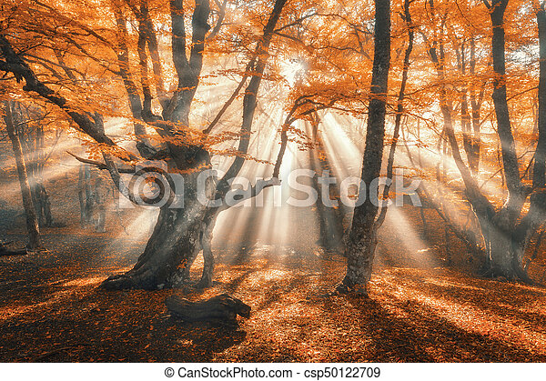 Magical autumn forest with sun rays in the evening - csp50122709