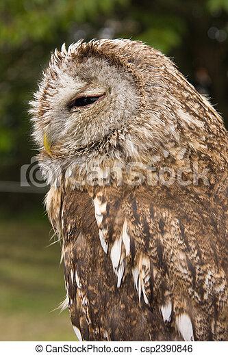 Magnificent Brown Owl - csp2390846