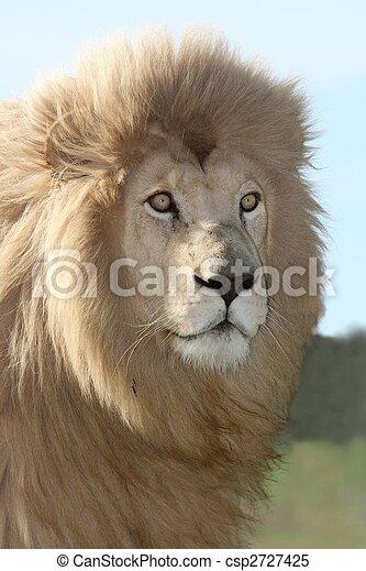 Magnificent Lion Portrait - csp2727425