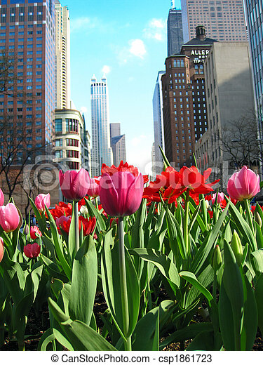 Magnificent Mile with blooming tulips - csp1861723