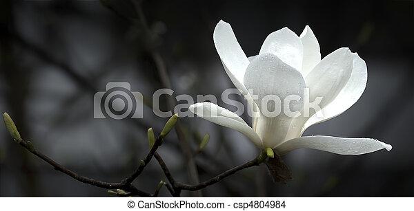 magnolia, fleur - csp4804984