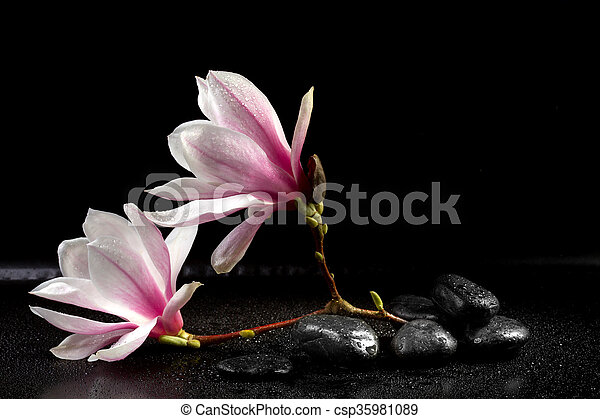 Magnolia Flowers And Zen Stones On The Black Background