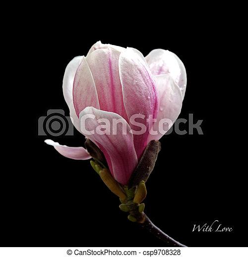 Magnolia Isolated A Single Magnolia Bloom Isolated On Black