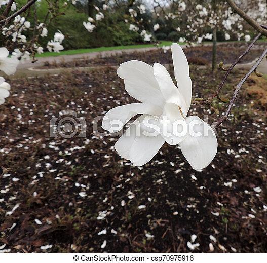 Magnolia Lebner Magnolia Loebneri Merrill During Flowering