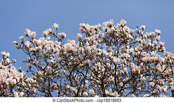 Magnolia Soulangeana Details Of A Beautiful Blossoming Tree In