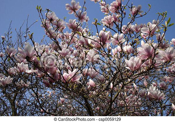 magnolia - csp0059129
