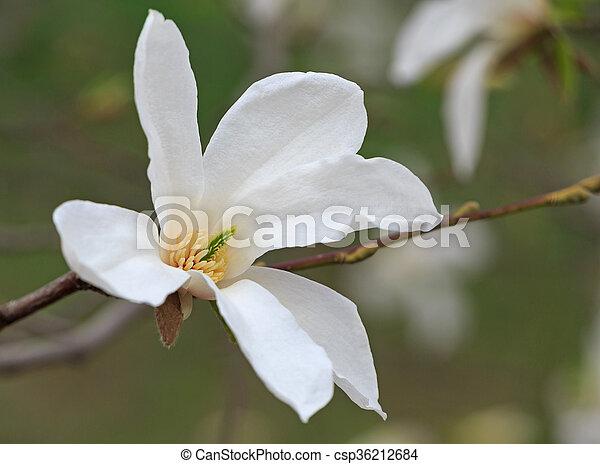 Close up of white magnolia tree blossom magnolia tree blossom csp36212684 mightylinksfo
