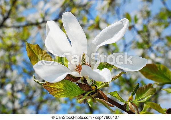Magnolia Tree Branch With Blossoms Beautiful White Magnolia Tree