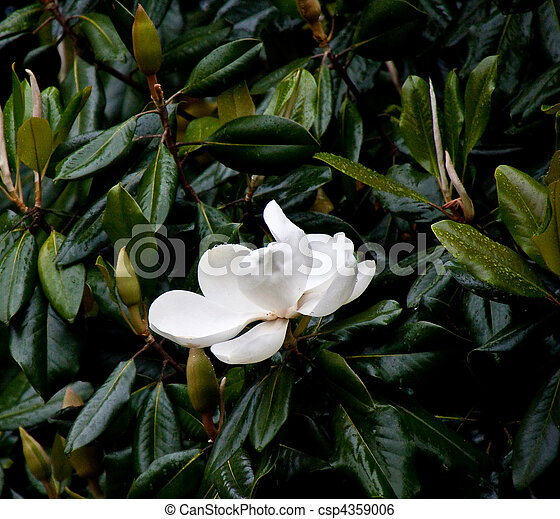Magnolia Tree In Rain With White Bloom A White Magnolia Bloom On A