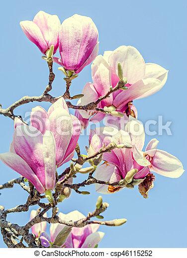 Magnolia Tree Pink Purple Flowers Blue Sky Outdoor Spring Time