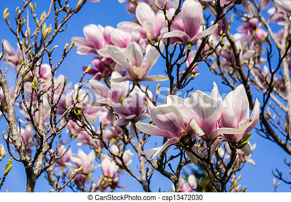 Magnolia Tree Blossoming Saucer Magnolia Tree With Flowers In Pink