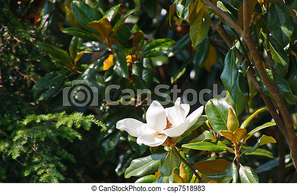 Magnolia tree with white blossom a white magnolia blossom stock magnolia tree with white blossom csp7518983 mightylinksfo Images