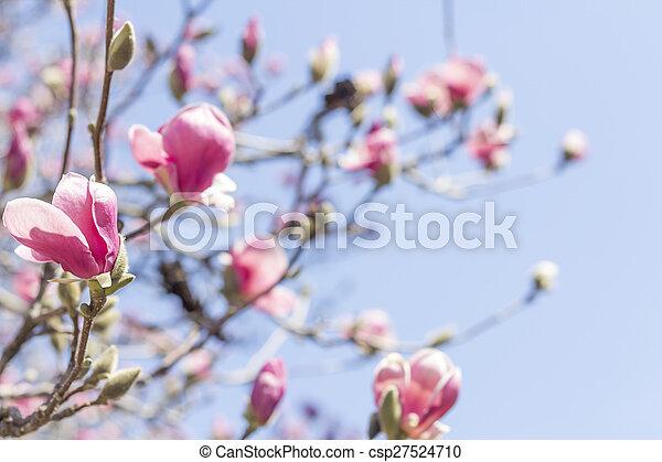Magnolia Tulip Tree Beautiful Spring Bloom For Magnolia Tulip Trees