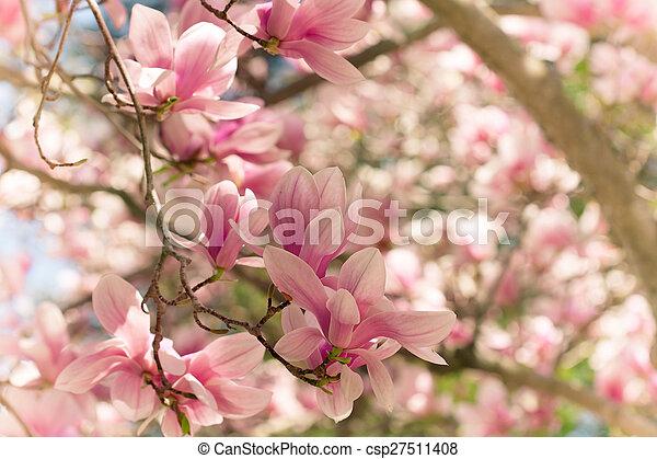 Magnolias Magnolia Tree In Full Bloom
