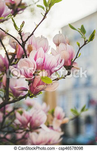 Magnolie, blumen, baum, blühen. Magnolienbaum, frühling, blühen ...