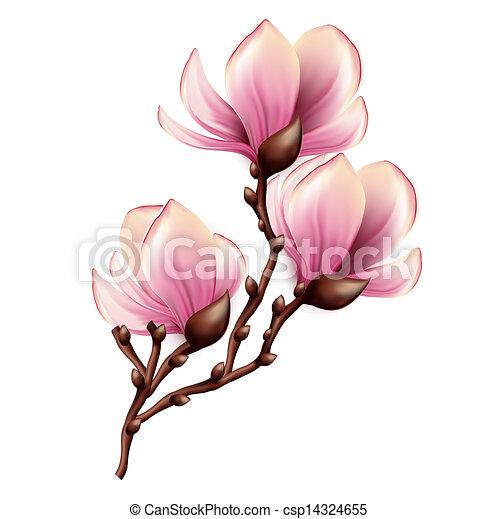 magnolie, freigestellt, zweig - csp14324655