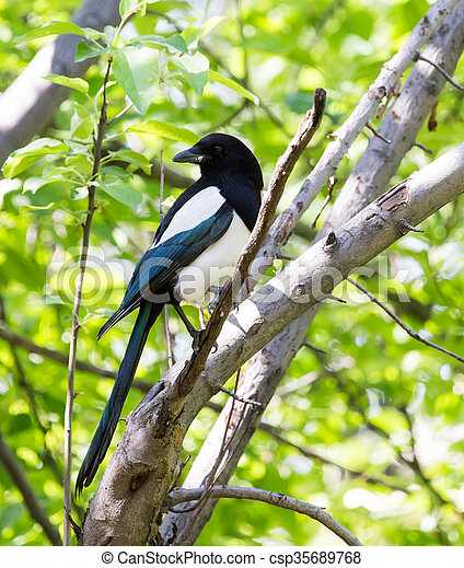 magpie on the tree - csp35689768