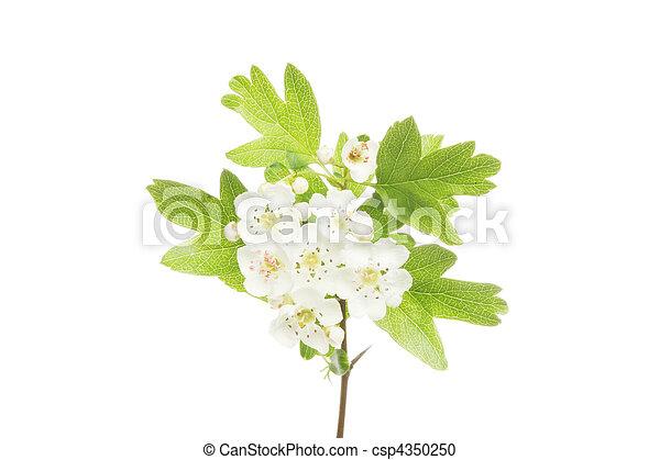 mai, fleur - csp4350250