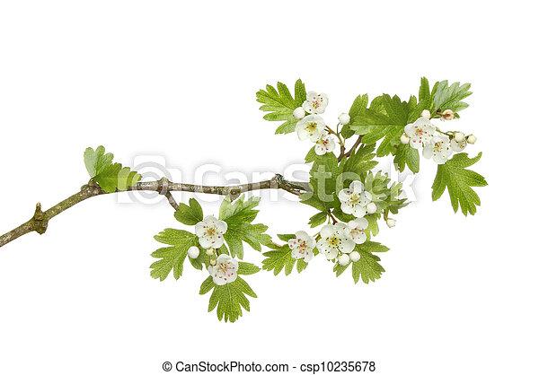 mai, fleur - csp10235678