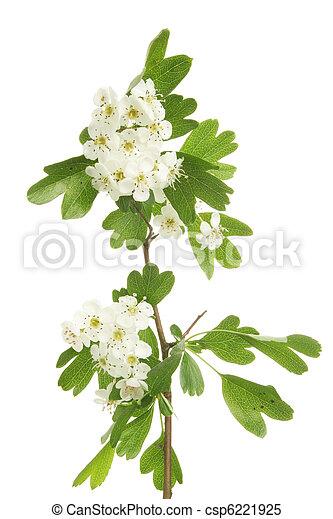 mai, fleur - csp6221925