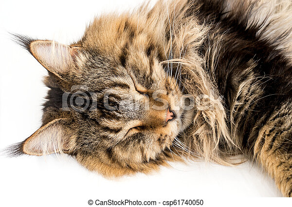 Maine Coon Cat Sleeping on White Background - csp61740050