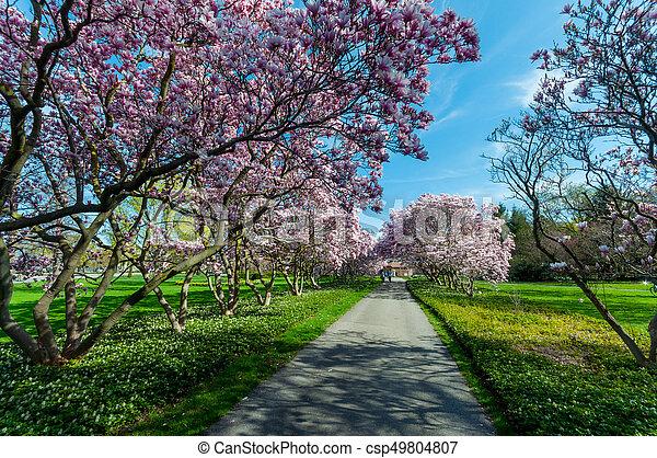 maj, magnolia, niagara, träd, nedgångar - csp49804807
