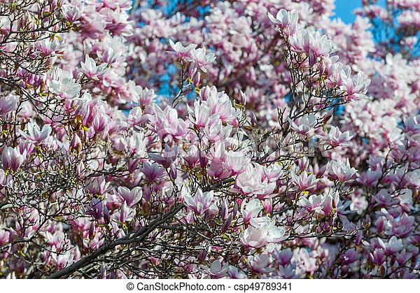 maj, magnolia, niagara, träd, nedgångar - csp49789341
