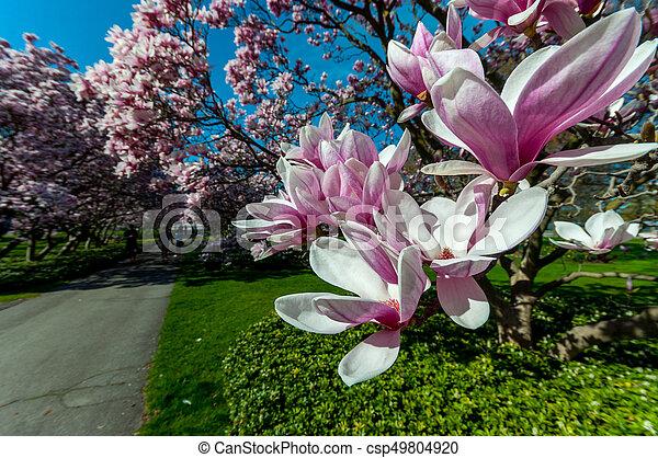 maj, magnolia, niagara, träd, nedgångar - csp49804920