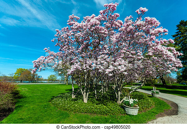 maj, magnolia, niagara, träd, nedgångar - csp49805020