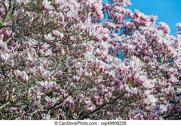 maj, magnolia, niagara, träd, nedgångar - csp49806238
