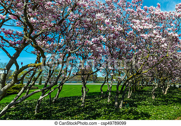maj, magnolia, niagara, träd, nedgångar - csp49789099
