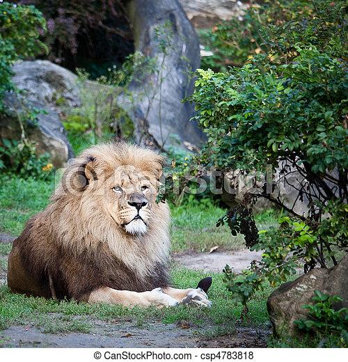 majestatyczny, lew - csp4783818