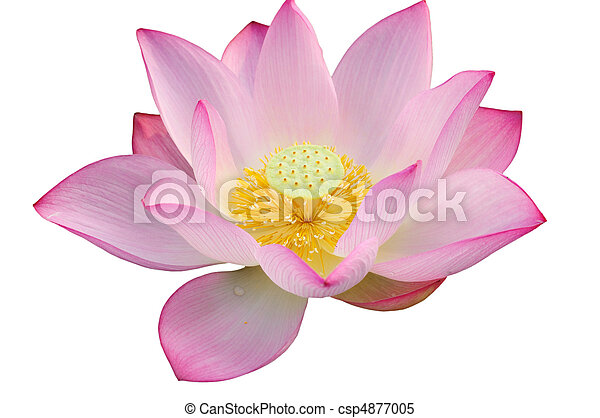 majestatyczny, lotosowy kwiat - csp4877005