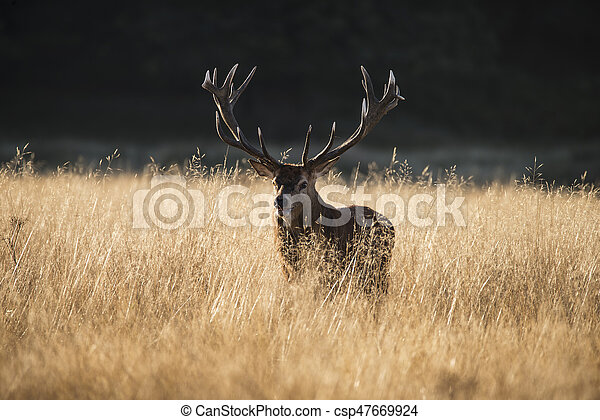 Majestic red deer stag cervus elaphus bellowing in open grasss field landscape during rut season in Autumn Fall - csp47669924