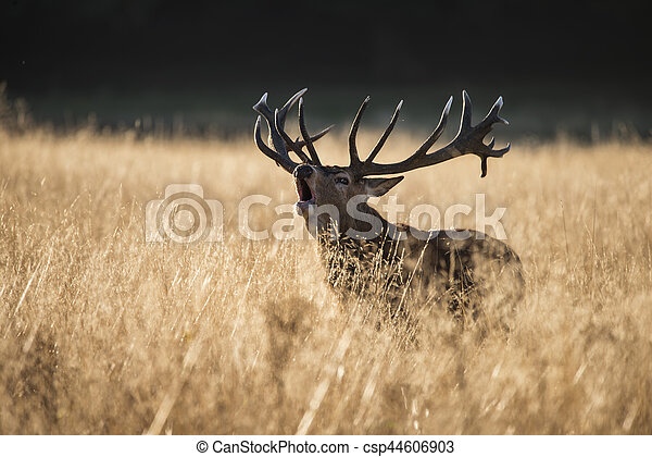 Majestic red deer stag cervus elaphus bellowing in open grasss field landscape during rut season in Autumn Fall - csp44606903