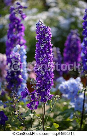 Flores verticales púrpura: majus antirrhinum en un jardín - csp64590218