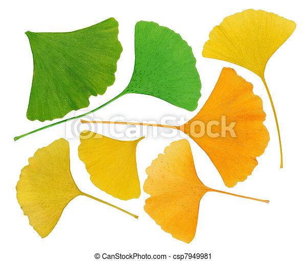 Herbarium Blätter makro blätter freigestellt herbarium ginkgo biloba