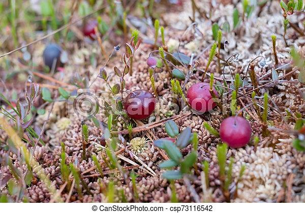 makro, preiselbeere, frisch, moss., rotes , ansicht - csp73116542