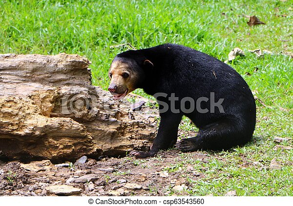 Malayan sun bear or Helarctos malayanus is a bear species occurring in tropical forest habitats of Southeast Asia. - csp63543560